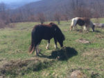 Wild Ponies of Grayson Highlands